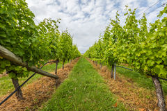 Vineyard field Stock Photography