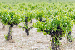 Vineyard field Stock Photos