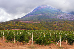 Vineyard field in mountain Royalty Free Stock Images