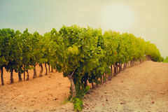 Vineyard Field in Southern France Stock Image