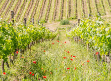 A vineyard field in spring in Tuscany. A vineyard in spring in Tuscany near the city of Siena stock photo