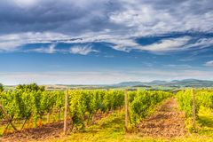 A vineyard field in a summer sunny landscape with a blue sky stock photography