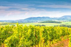 A vineyard field in a summer sunny landscape with a blue sky stock images
