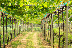 Vineyard field in Thailand Royalty Free Stock Photo