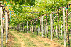 Vineyard field in Thailand Royalty Free Stock Photo