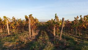 Vineyard fields at autumnal sunset. Vineyard at autumnal sunset in the countryside royalty free stock images