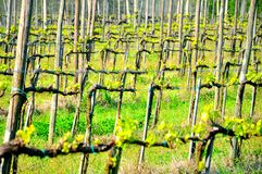 Vineyard fields in Italy Stock Photography