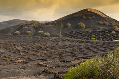 Vineyard fields in Lanzarote. Typical black vineyards, stone walls, lava fields - Canary Islands royalty free stock photo