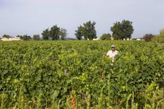 Vineyard fields. A man working in the vines of Saint Emilion fields, in Saint Emilion, France royalty free stock photography