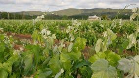 Vineyard Fields at Spring  Farm Closeup stock footage