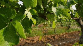 Vineyard Fields at Spring Leaves Closeup. Ronin steady cam view of a vineyard at sunset. Very detailed vine leaves in springtime Vineyards crops at the stock video