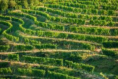 Vineyard Fields in Summer. German Vineyard Plantations royalty free stock images