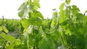 Vineyard Fields at Sunset Vine Lane Closeup stock video footage