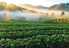 Vineyard. Filled with grapes from Chiangmai Thailand royalty free stock photography