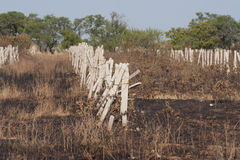 Vineyard after fire Stock Photo