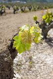 Vineyard first spring sprouts  row field Royalty Free Stock Images