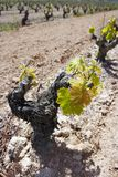 Vineyard first sprouts in row field in Spain Royalty Free Stock Image