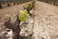 Vineyard first sprouts in row field in Spain Royalty Free Stock Photography