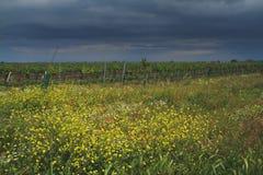 Vineyard flowers Royalty Free Stock Photography
