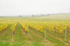 Vineyard with fog Stock Images