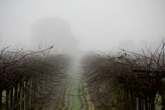 Vineyard in Fog. A foggy spring morning in the vineyard near Lodi, California, with a hidden view of the oaks bordering the fields and the gentle slope of the Royalty Free Stock Photography
