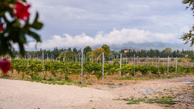 Vineyard at the foot of Mont Ventoux in Provence, France Stock Images