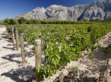 Vineyard at the foot of a rocky mountain. Croatia Stock Photography