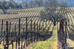 Vineyard forms a hillside pattern Royalty Free Stock Photo
