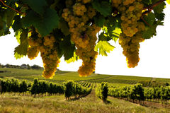 Vineyard four. Bunches of grapes in the French vineyards Royalty Free Stock Photo