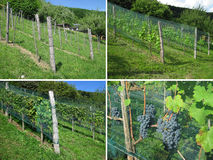 Vineyard - Four Seasons Stock Photography