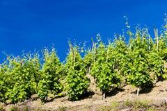 Vineyard in France. Grand cru vineyard, Cote Rotie, Rhone-Alpes, France Stock Photography