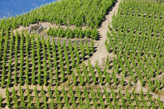 Vineyard in France Stock Images