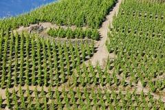 Vineyard in France. Grand cru vineyard, Cote Rotie, Rhone-Alpes, France Stock Images