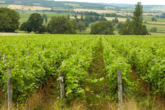Vineyard in the France Stock Images