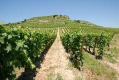 Vineyard in France Stock Image