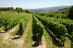 Vineyard in the France Royalty Free Stock Photos
