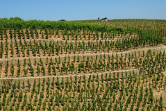 Vineyard in France. Vineyard in the Provence, France royalty free stock image