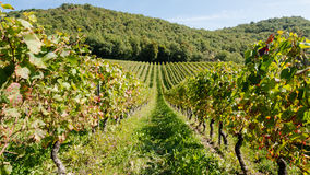 Vineyard in France (2) Royalty Free Stock Photography