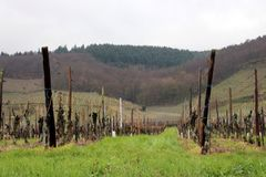 Vineyard in France. Rainy season in Alsace area. Grape fields for French vine production royalty free stock images