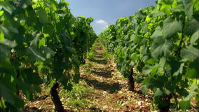 Vineyard in France rows of grapes on vines