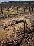 Vineyard in France. Vineyard in south of France during winter Stock Photography