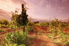 Vineyard in france on sunrise Stock Image