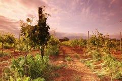 Vineyard in france on sunrise. Vineyard in france on beautiful sunrise stock image