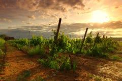 Vineyard in france Royalty Free Stock Image
