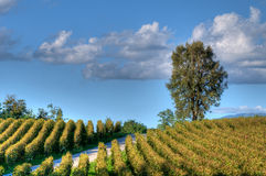 Vineyard In Franciacorta before sunset Royalty Free Stock Photos