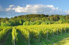 Vineyard In Franciacorta before sunset Royalty Free Stock Images