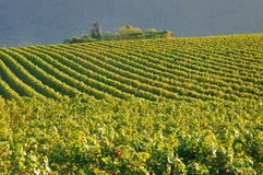 Vineyard In Franciacorta before sunset Royalty Free Stock Image
