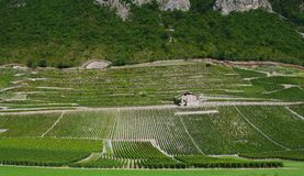 Vineyard in french alps Stock Photo