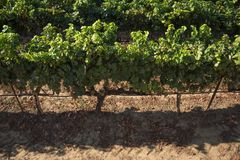 Vineyard front row royalty free stock images
