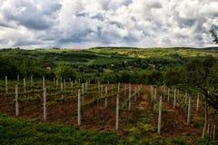 Vineyard. On Fruska Gora, Serbia Stock Photos